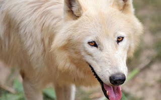 white wolf pictures