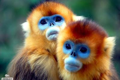 Macacos de rosto azul