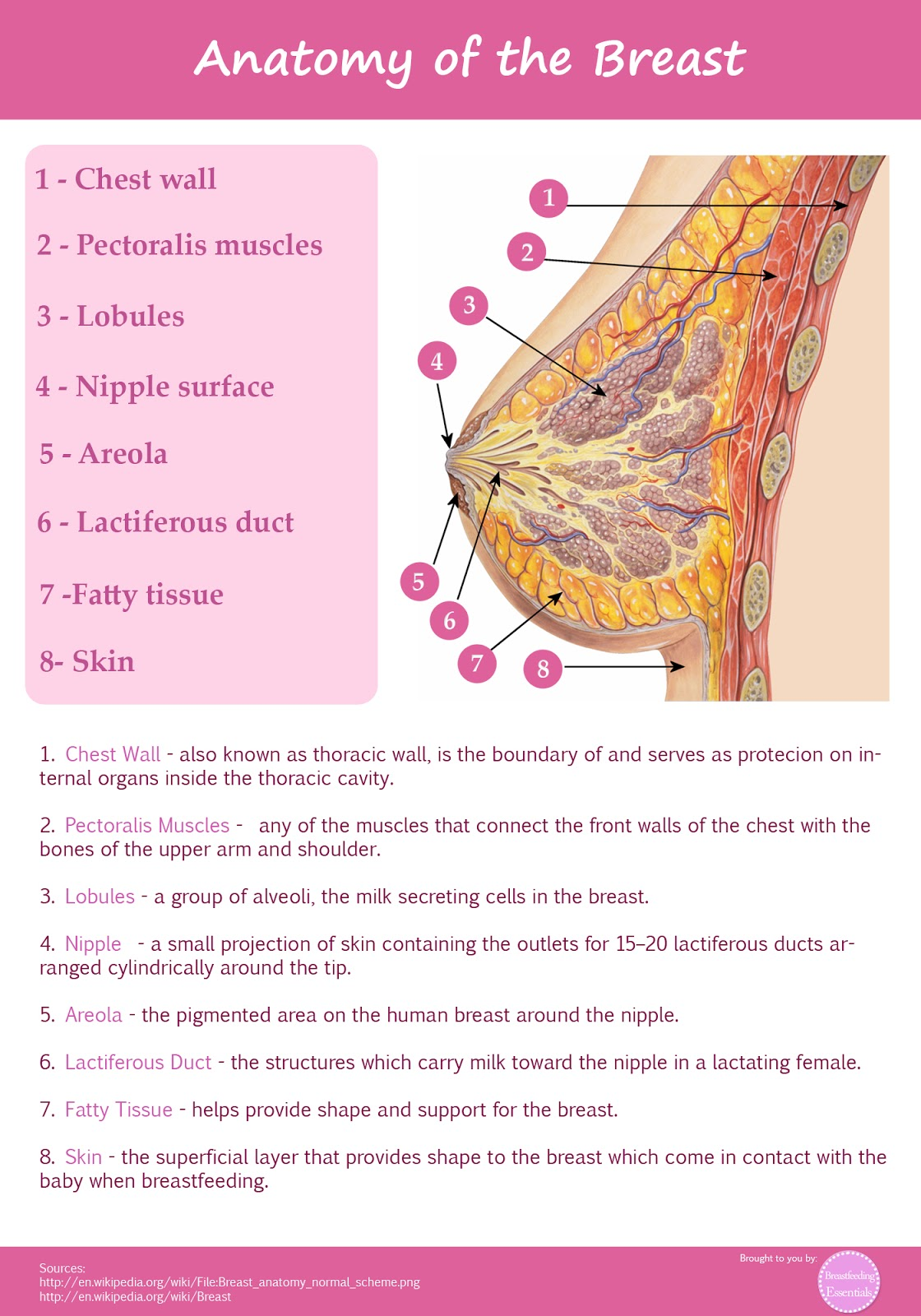 Breast anatomy lobules