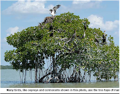 White Mangrove Tree with Ospreys and Cormorants