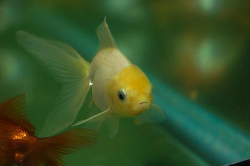 lemonin3 Japon Balıkları