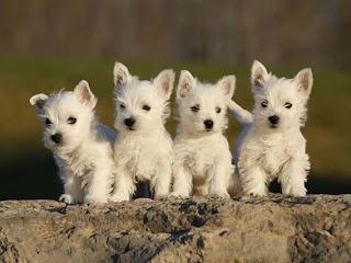 Kumpulan Anak Anjing Imut