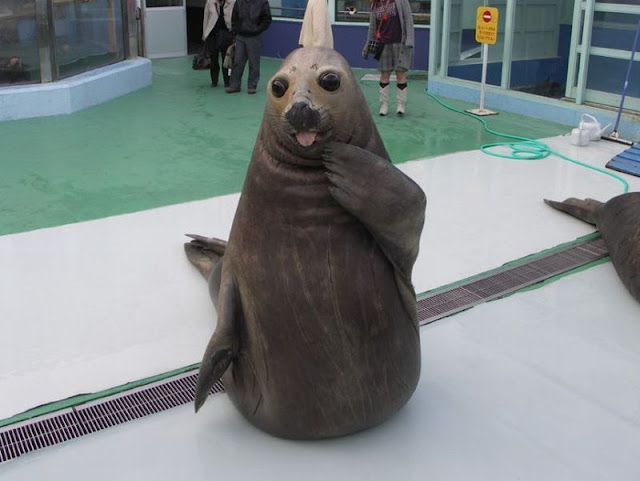 funny seal, funny animal pictures, animal photos, funny animals