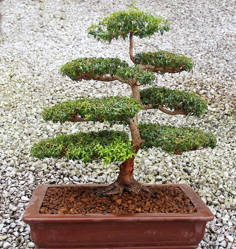 Ancient Art Bonsai September 2014