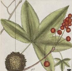 Sweetgum leaf, male and female fruits