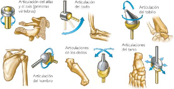 Las articulaciones móviles o diartrosis | El Cuerpo Humano