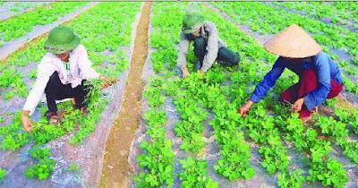 Cánh đồng đậu phộng vùng quê