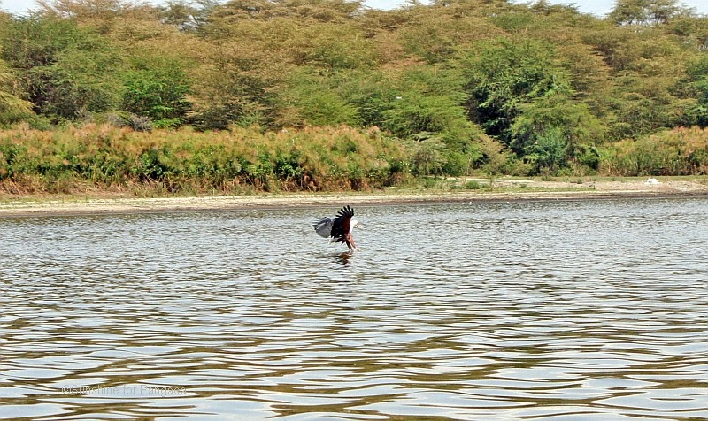 hunting African fish eagle at lake naivasha