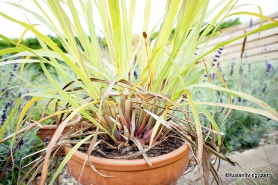 Lemongrass growing in container