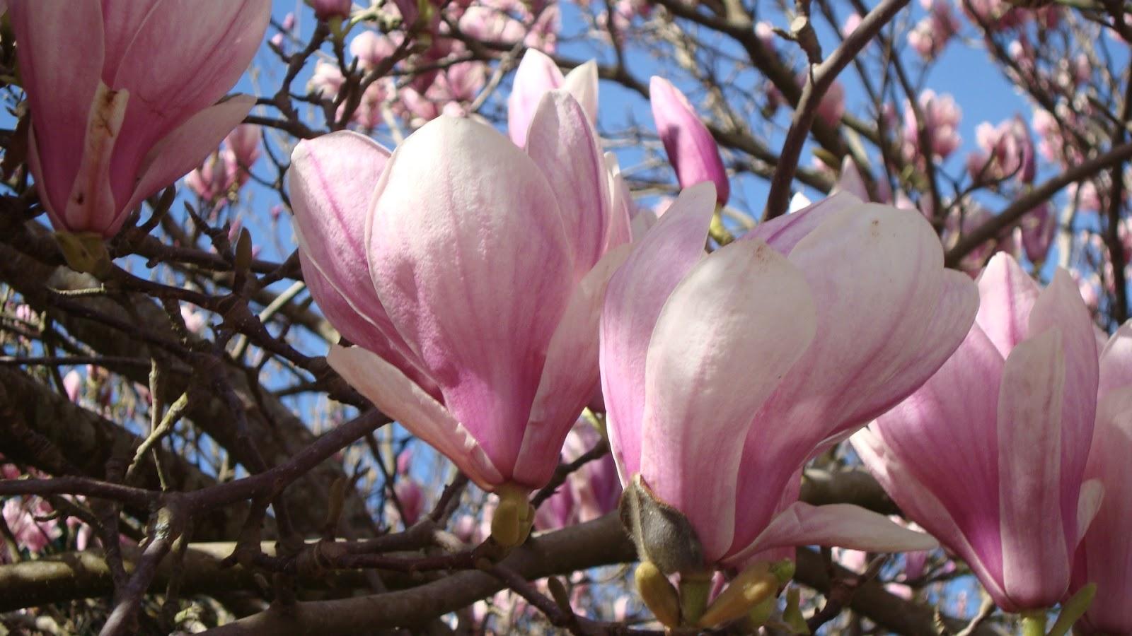 Floresamatxo todo sobre las flores consejos para cuidar - Cuidados del magnolio ...