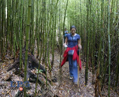 Centroamericanos apuestan al bamb para el desarrollo sostenible azul vital - Cultivo del bambu ...