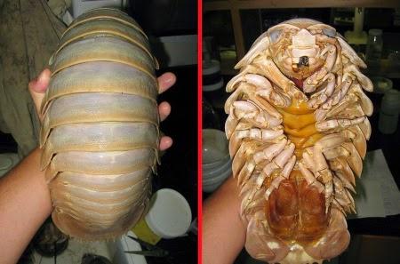Isopoda Besar