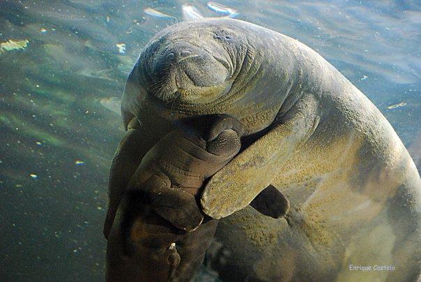 Mis mamíferos marinos: ¿Crees que ya lo sabes todo de los manatíes?