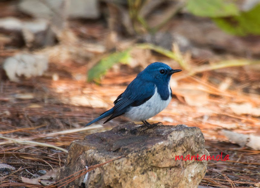 Ultramarine Flycatcher (Ficedula superciliaris)