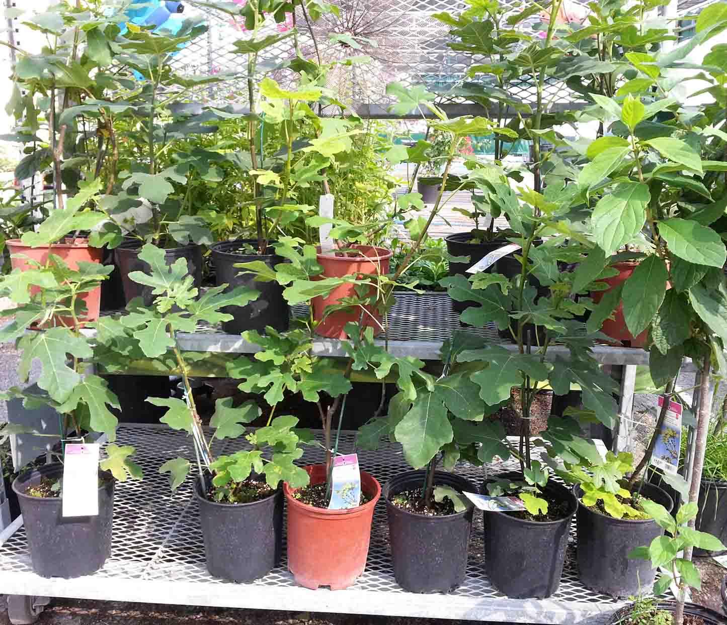 Homegrown Adventures In My Garden Darn Figs
