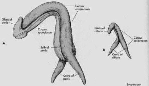 Las investigaciones sobre el clítoris son bastante recientes.