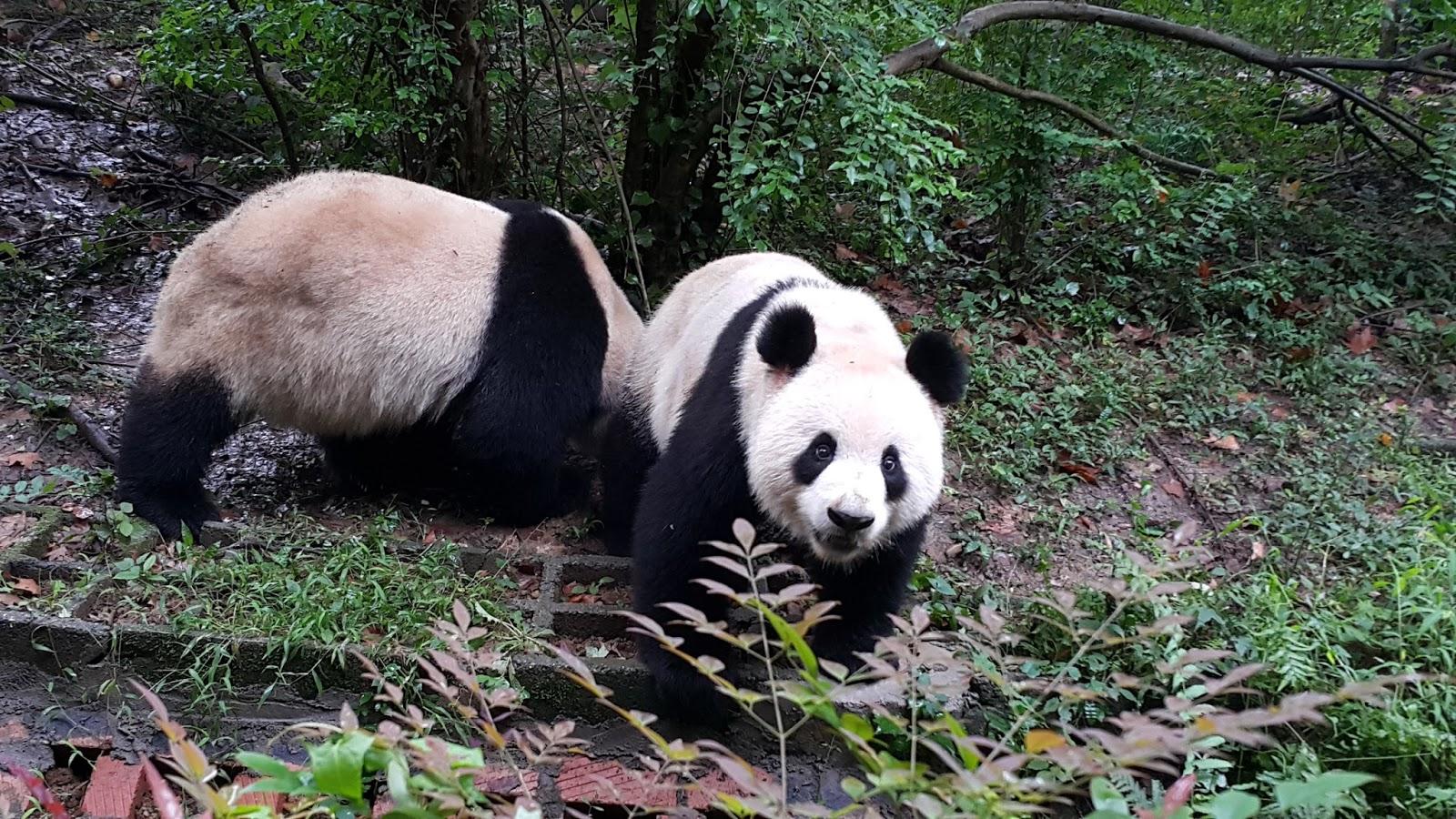 20150922-成都熊猫基地