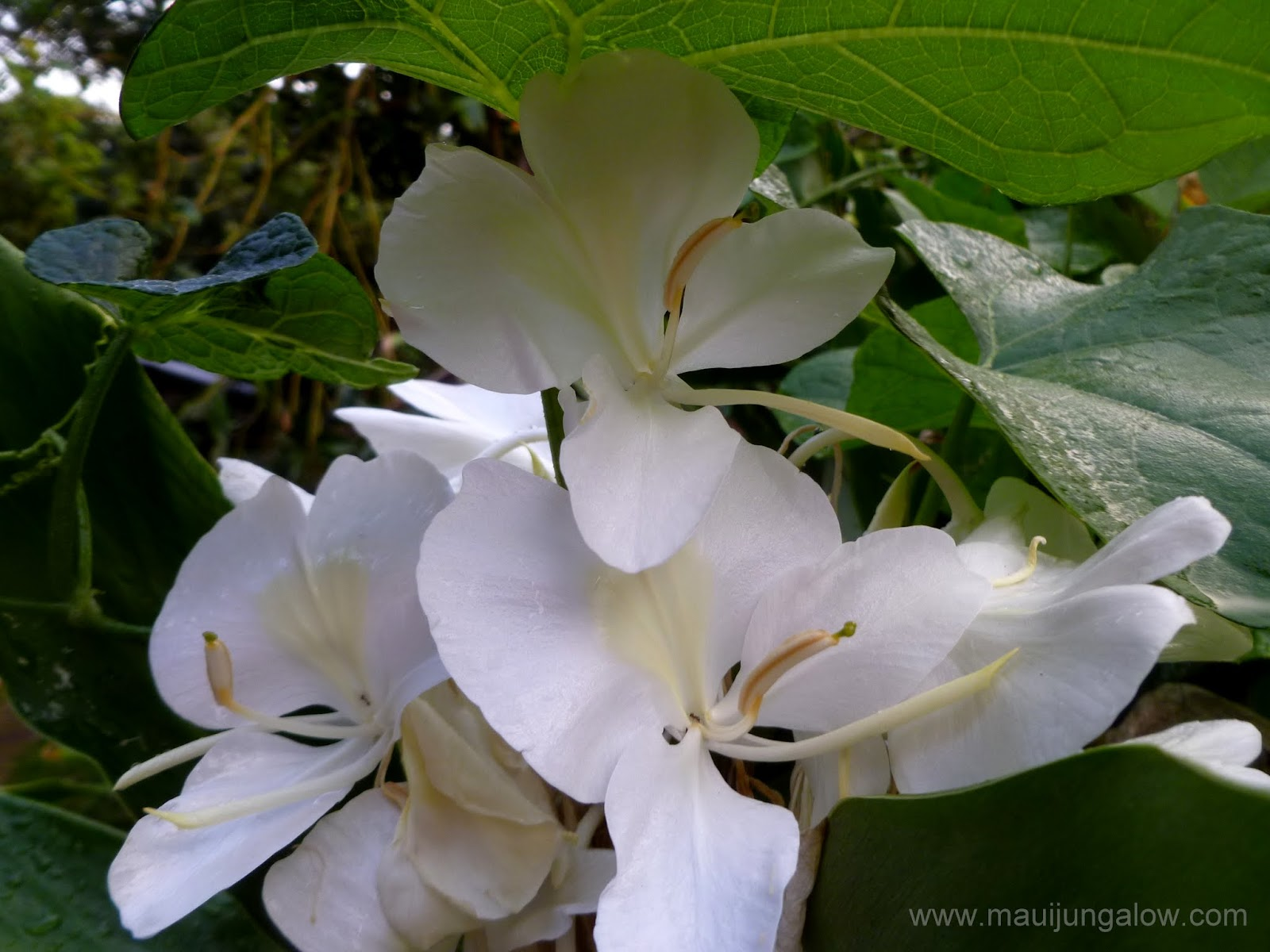 Maui Jungalow Flowering White Ginger