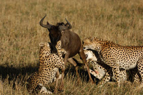 a group of cheetahs hunting wildebeest poster
