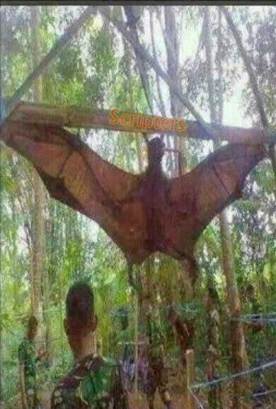 Keliwon a.k.a Kelawar Terbesar Dijumpai Di Hutan Pahang