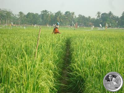 Petani menunggu dan menjaga tanaman padi dari hama burung pipit