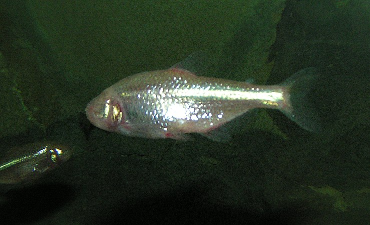 Cave tetra, blind tetra - Astyanax mexicanus