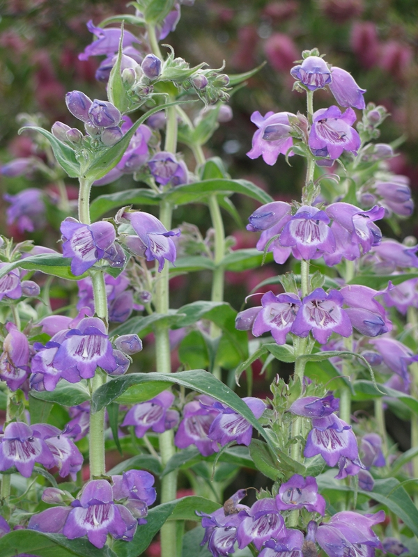 Purple bell flowers perennial choice image flower decoration ideas amazing purple and white bell shaped flowers images images for beautiful flowers bell shaped flowers pictures mightylinksfo Images