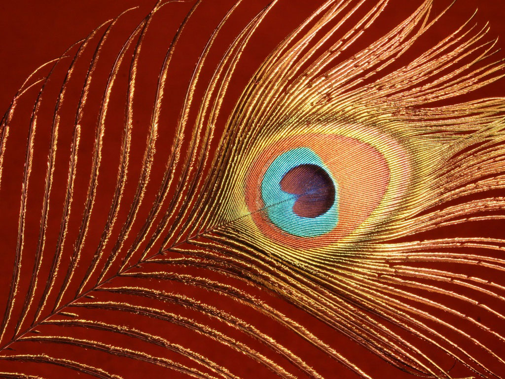 Wallpaper Peacock Feathers Wallpapers