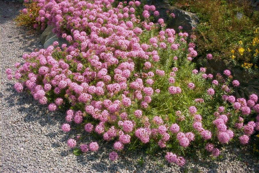 Arte y jardiner a plantas perennes cobertoras para - Plantas exterior mucho sol ...