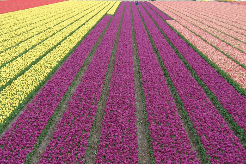 field of tulips laid out in rows