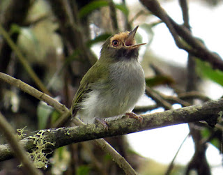 Black-throated Tody-Tyrant