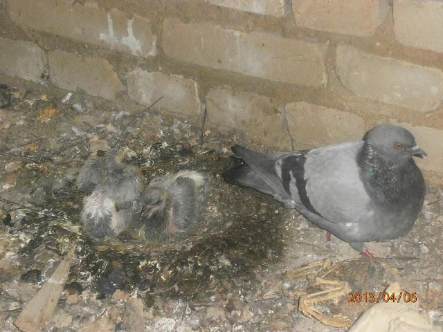 Голубь высиживает птенцов