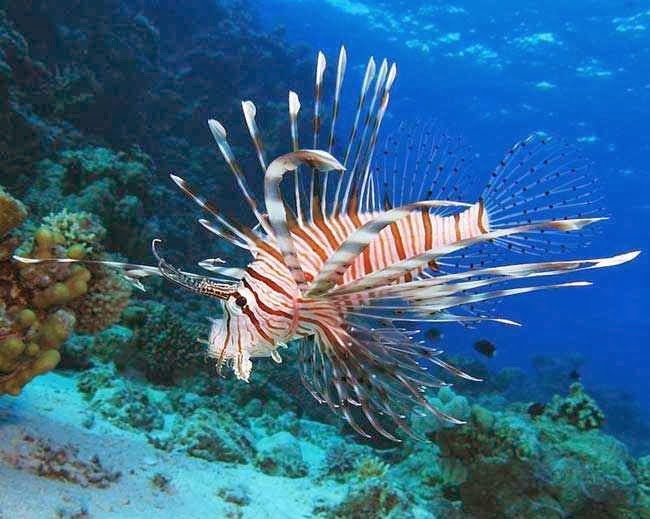 Lion Fish, Ikan Singa