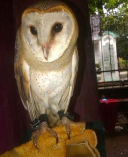Foto Barn Owl