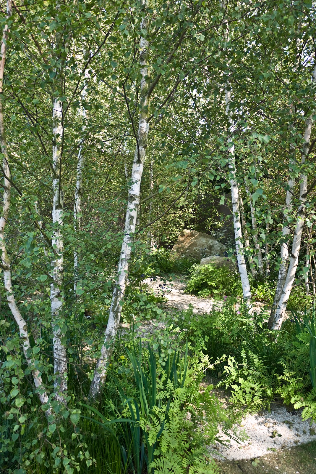 Padmayogini 39 s artist 39 s diary chelsea flower show for Silver birch trees for small gardens