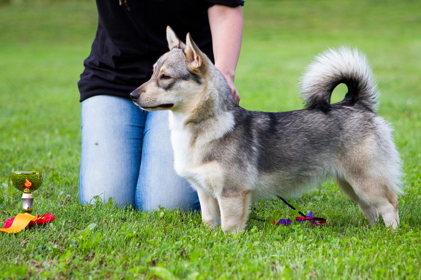 характер породы собаки шведский вальхунд