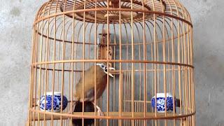 Tips Cara Merawat Burung Hwa Mei (Wam Bie) Burung Kicau Bersuara Emas Agar Cepat Gacor