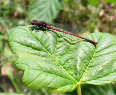 Large red damselfly, Pyrrhosoma nymphula. High Elms Country Park, 4 June 2011.