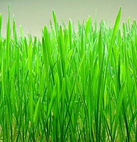 Wonderful Wheatgrass Advantages For Well being & Vitamin