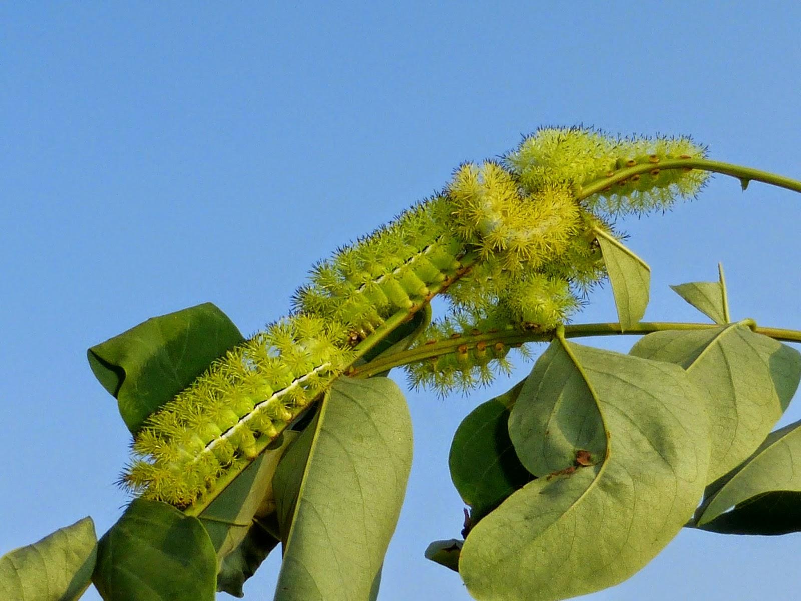 Automeris iris caterpillar