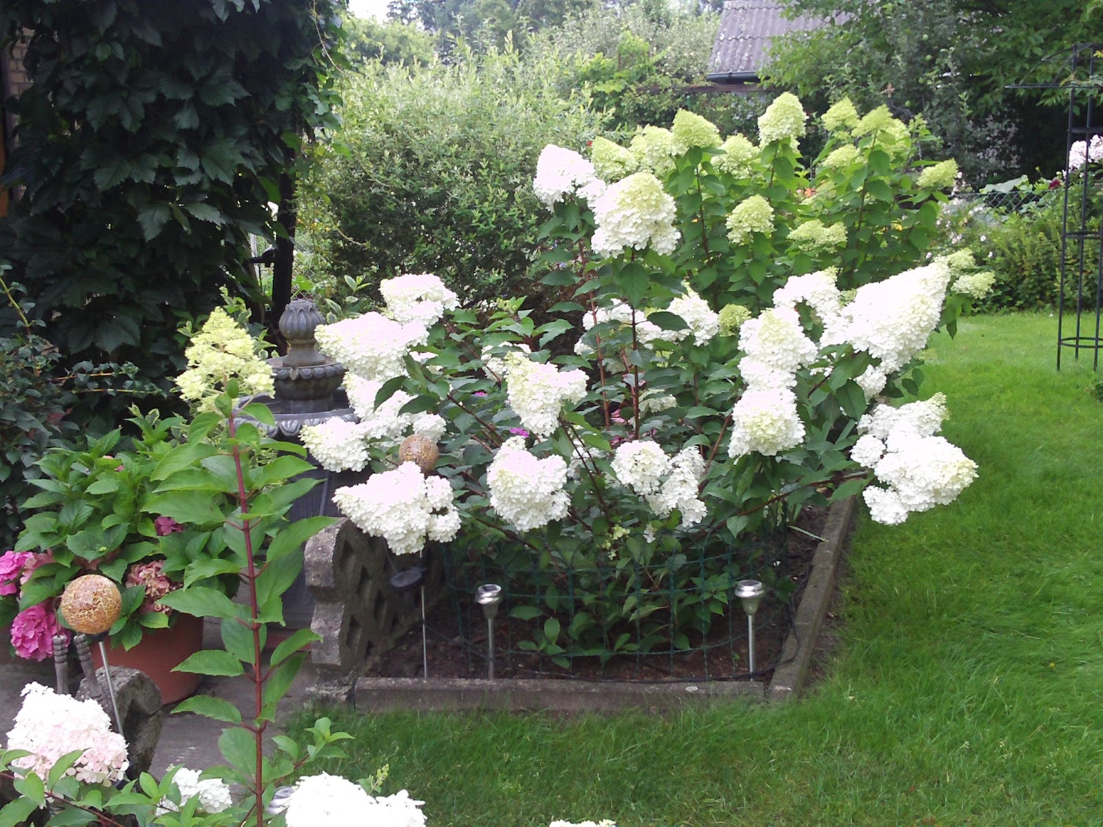 rispenhortensie hydrangea paniculata gartenelfe. Black Bedroom Furniture Sets. Home Design Ideas