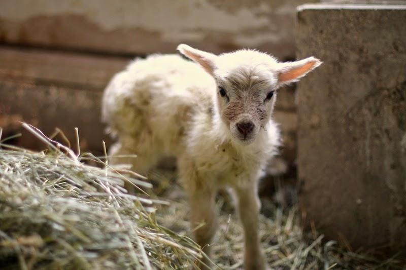 Oopsy Icelandic lamb cross
