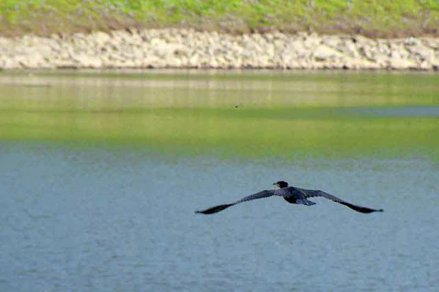 bird flying,Cormorant,Dam,Okinawa, Japan,nature