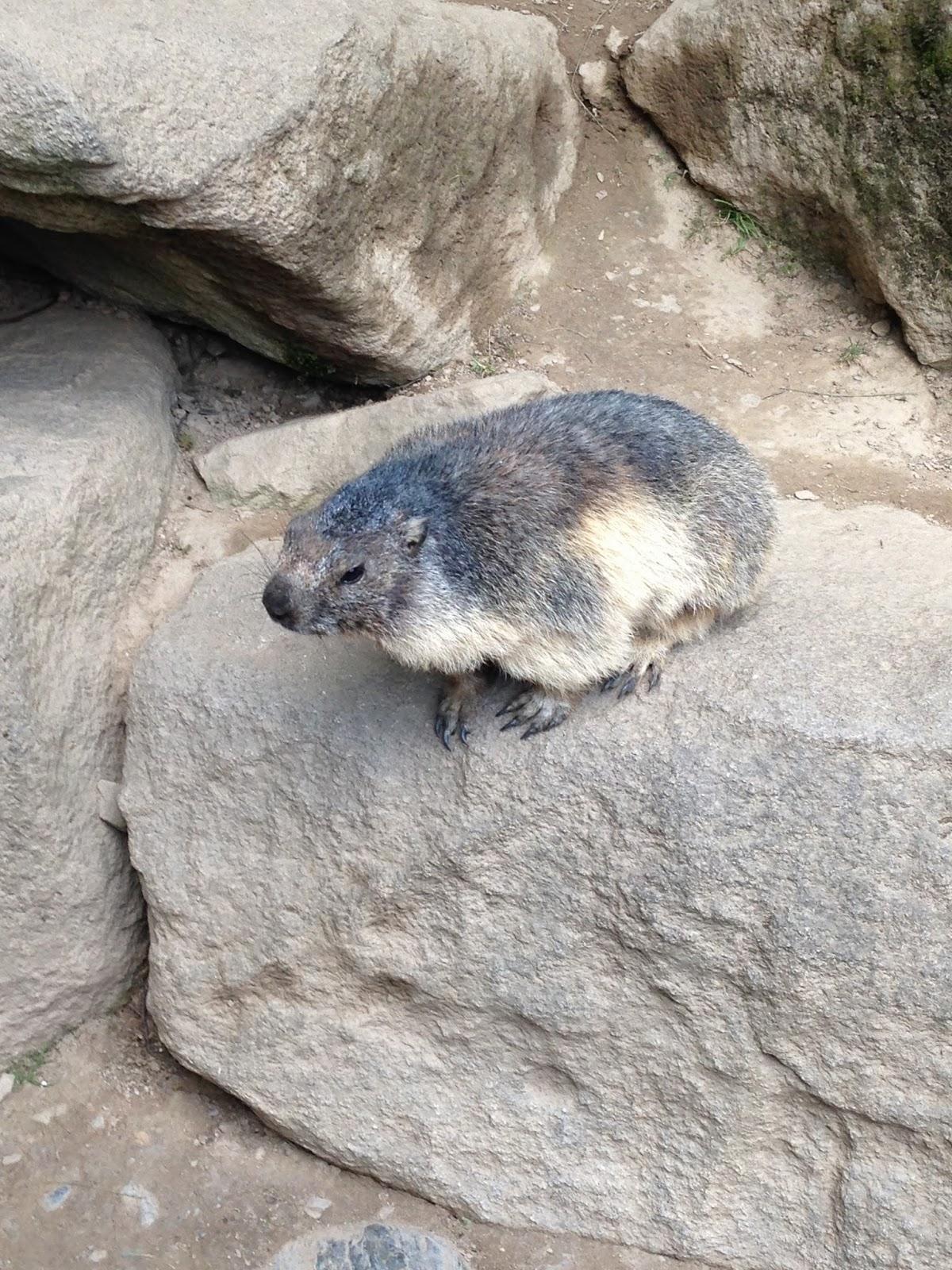 Marmota en el Parque de los animales Pirenáicos