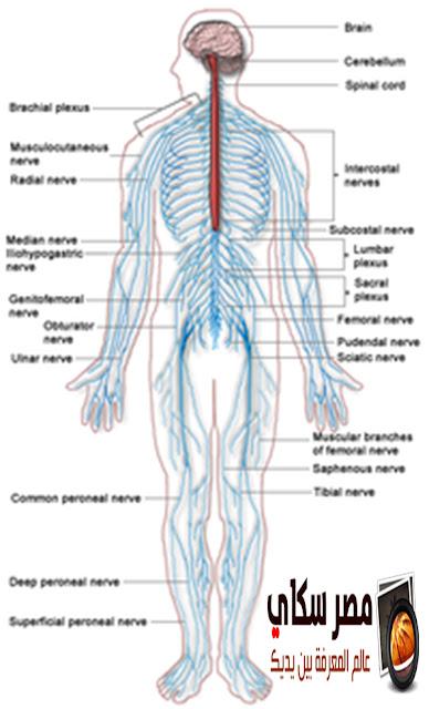 الجهاز العصبى فى الإنسان Human nervous system