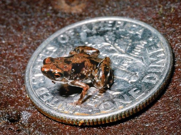 Species Name : Frog (Paedophryne amauensis)