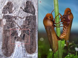 Anthoscytina fossil