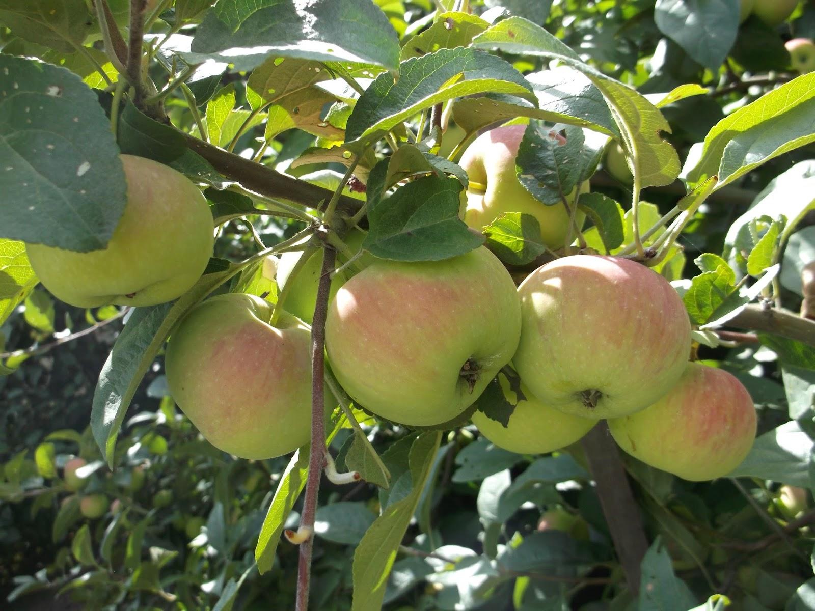 Сорт яблони Подарок садоводам: фото, отзывы, описание 58