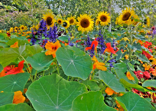 Gambar Bunga matahari di antara daun talas
