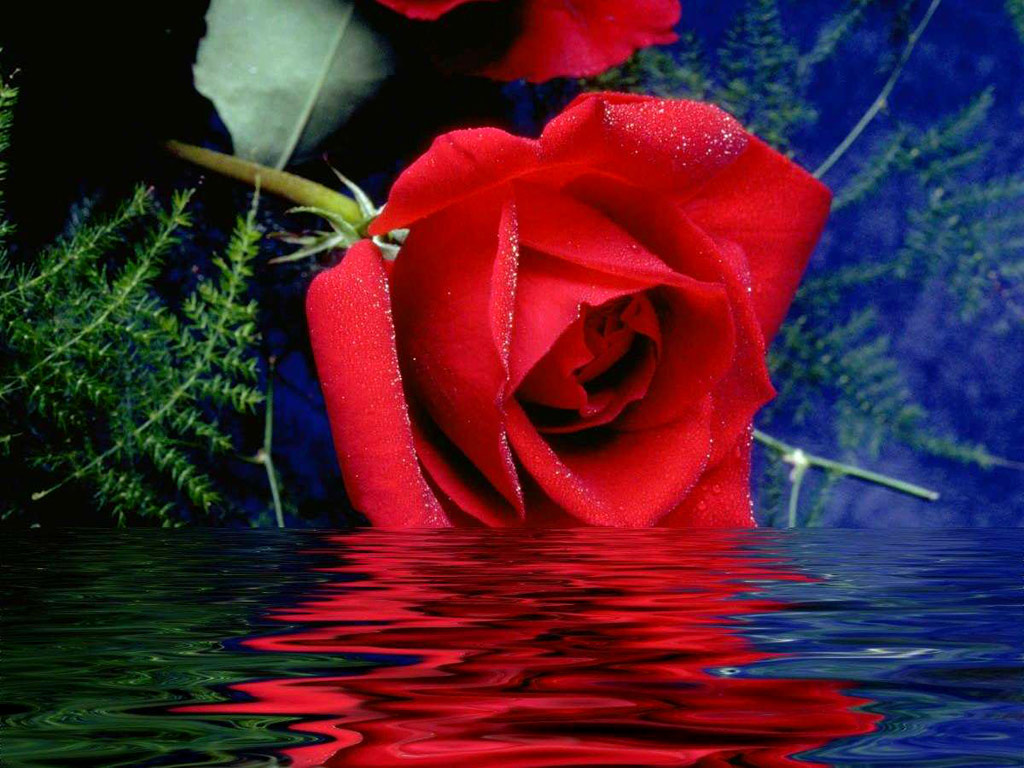 Most Beautiful Red Rose Flowers